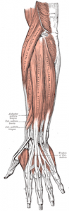 finger grip extensor muscles