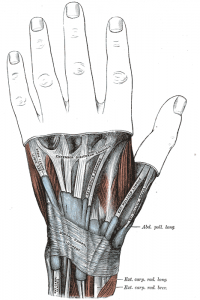 hand opening muscles